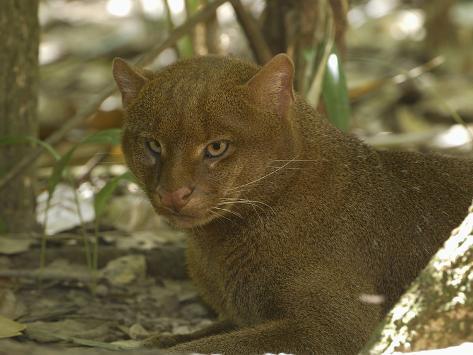 thomas-marent-jaguarundi-head-felis-yagouaroundi-belize.jpg