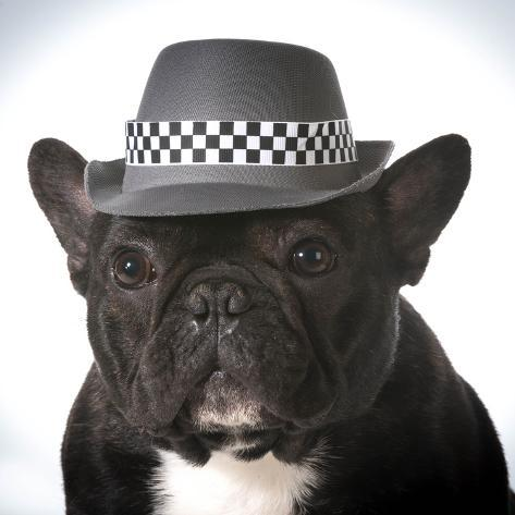 french bulldog hat french bulldog wearing fedora hat photographic print by 2620