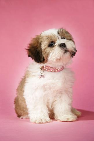 shih tzu collar shih tzu 10 week old puppy with collar photographic print 4003
