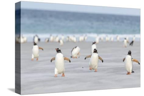 Gentoo Penguin Walking to their Rookery, Falkland Islands Trykk på strukket lerret