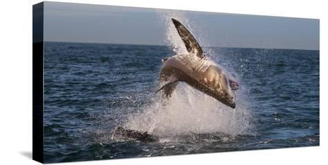 Great White Shark (Carcharodon Carcharias) Breaching Bedruckte aufgespannte Leinwand