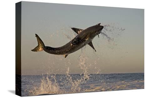 Great White Shark (Carcharodon Carcharias) Breaching Whilst Attacking Seal Decoy Bedruckte aufgespannte Leinwand