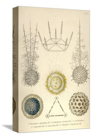Ethmosphaera Siphonophora, Cyrtidosphaera Reticula, Arachnosphaera, A. Oligacantha, etc. Bedruckte aufgespannte Leinwand