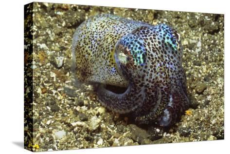 Berry's Bobtail Squid Bedruckte aufgespannte Leinwand