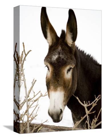 Portrait of a Mule in Fresh Snow Bedruckte aufgespannte Leinwand
