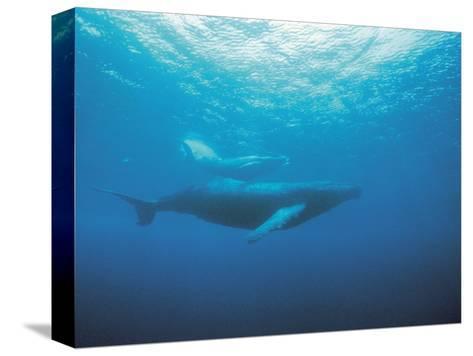 Whales Swimming in Sea Bedruckte aufgespannte Leinwand