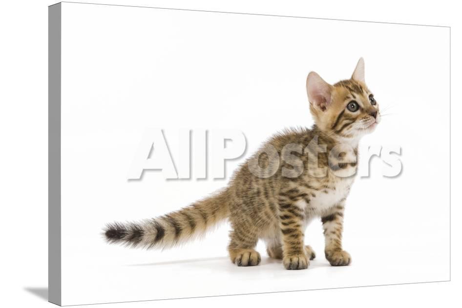 8 Week Old Bengal Kitten in Studio
