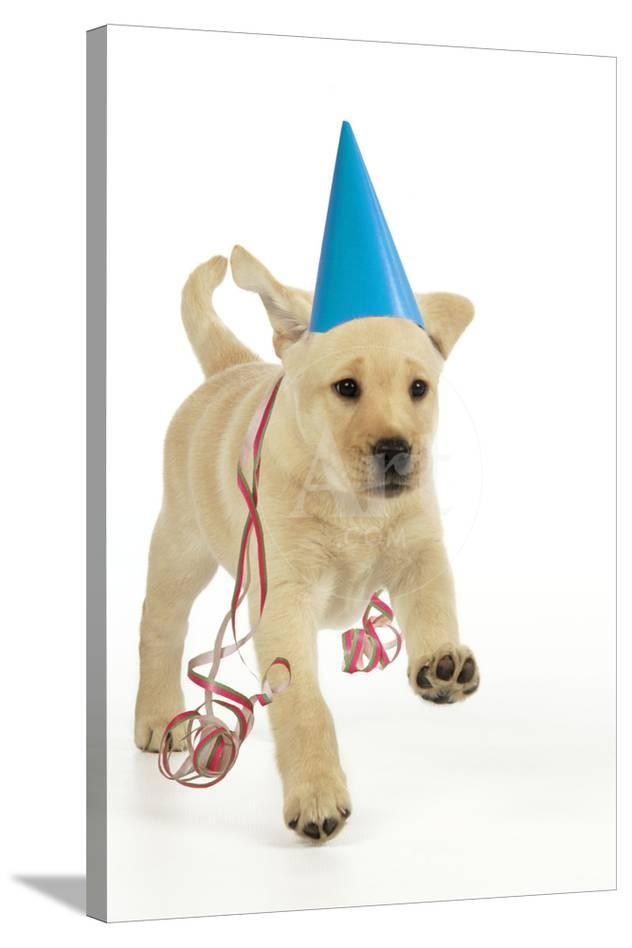8 Week Old Labrador Puppy In Party Hat And Streamers Photographic