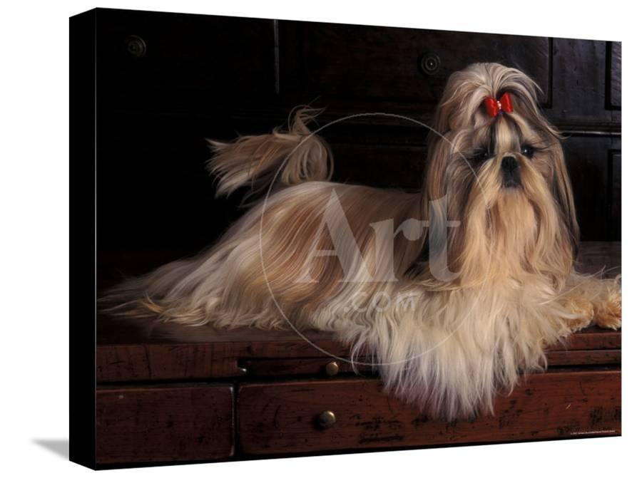 Shih Tzu Portrait with Hair Tied Up, Lying on Drawers