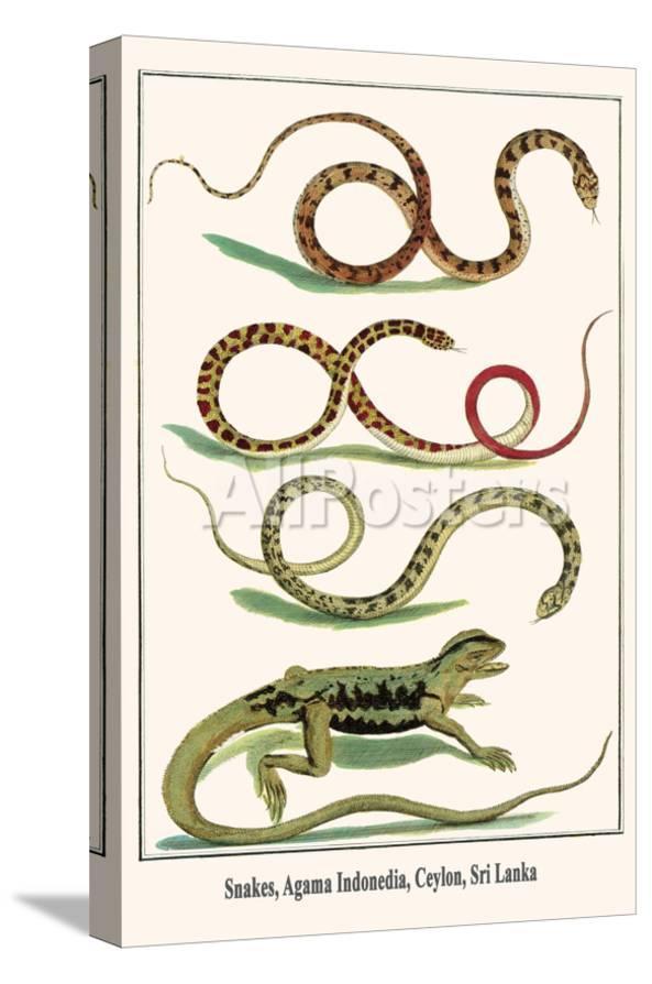 Snakes Agama Indonedia Ceylon Sri Lanka Posters Albertus Seba Allposters Com