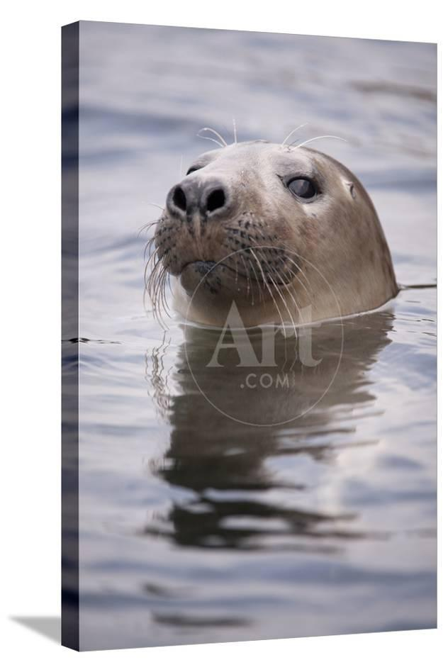 Young Grey Seal (Halichoerus Grypus) Taking a Curious Peep Out of the  Water, Hebrides, Scotland, UK
