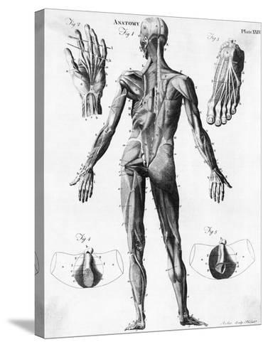 Anatomical Illus Of Human Muscles Giclee Print At Allposters Com