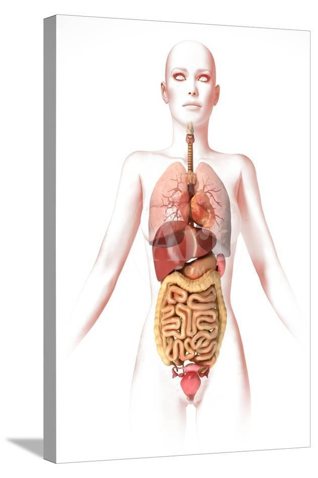 Anatomy Of Female Body With Internal Organs Prints At Allposters
