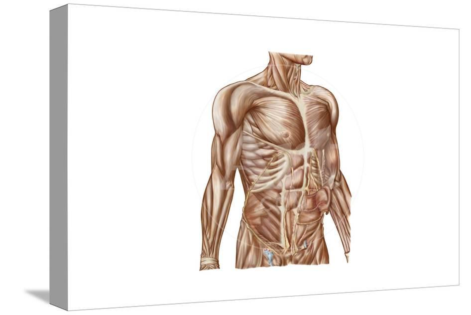 Anatomy Of Human Abdominal Muscles Poster At Allposters