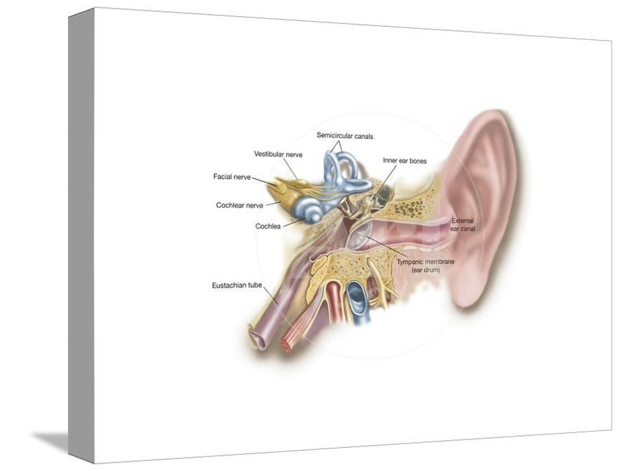 Anatomy Of Human Ear Print At Allposters