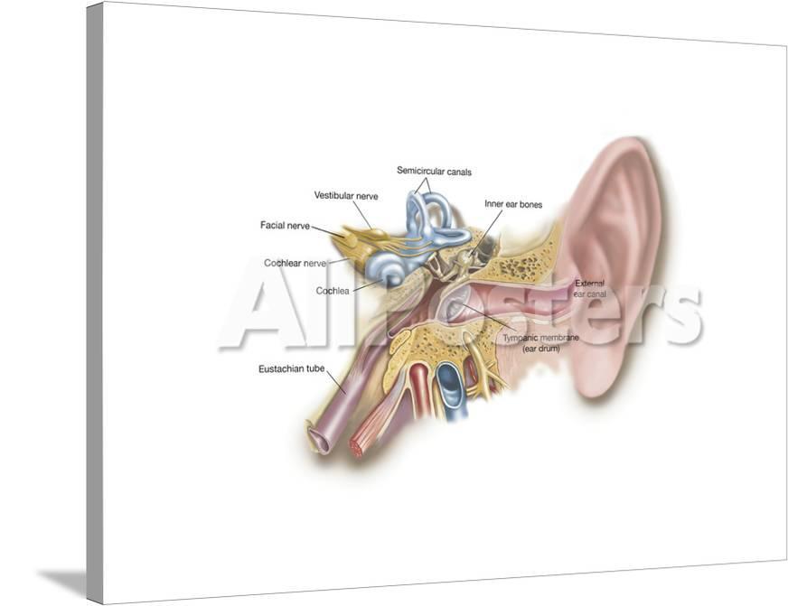 Anatomy Of Human Ear Print At Allposters