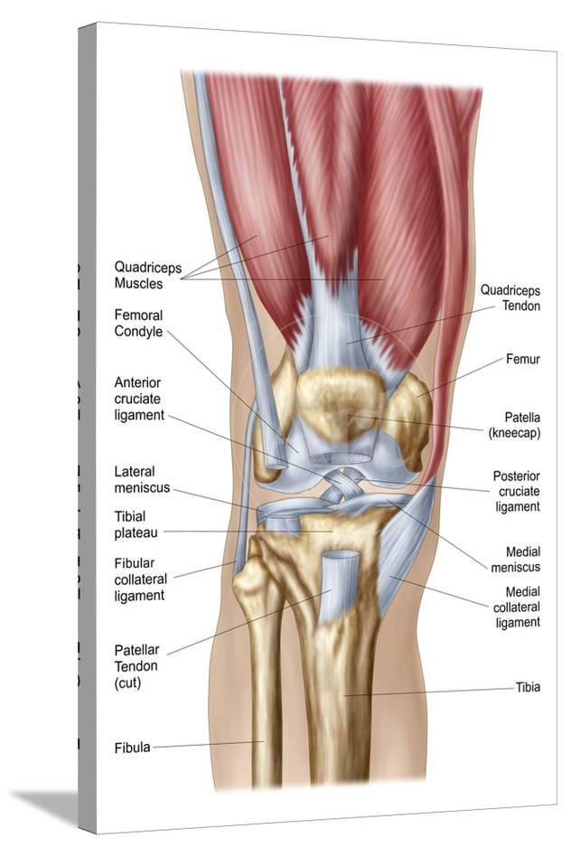 Anatomy Of Human Knee Joint Posters At Allposters