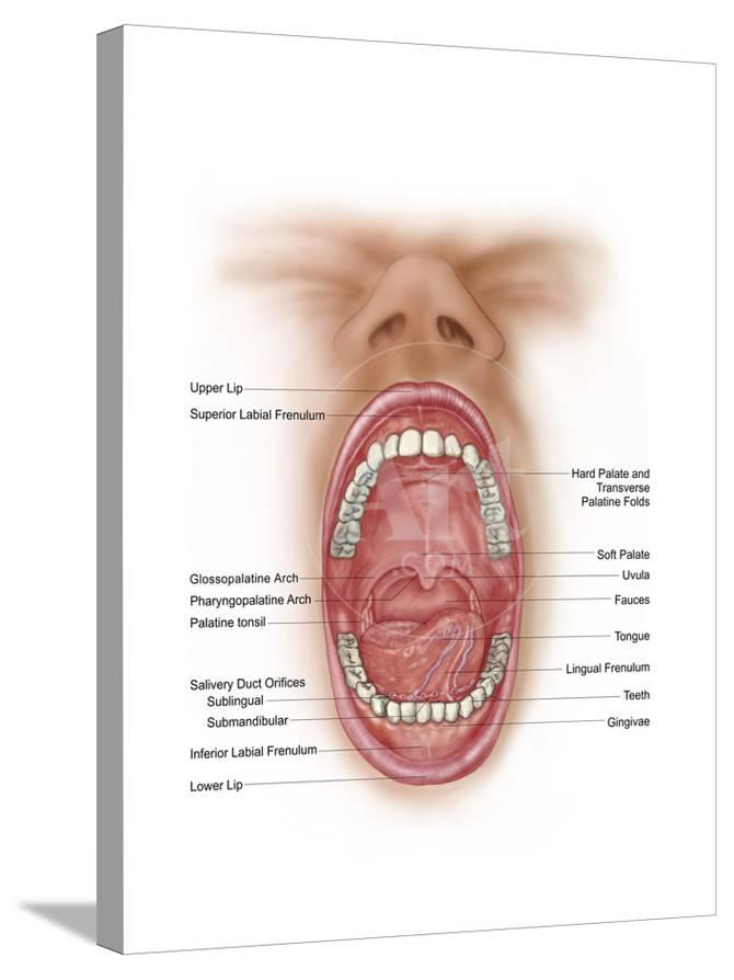 Anatomy Of Human Mouth Cavity Posters At Allposters