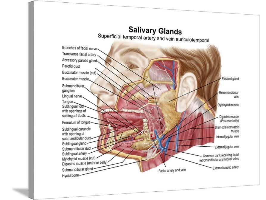 Anatomy Of Human Salivary Glands Poster At Allposters