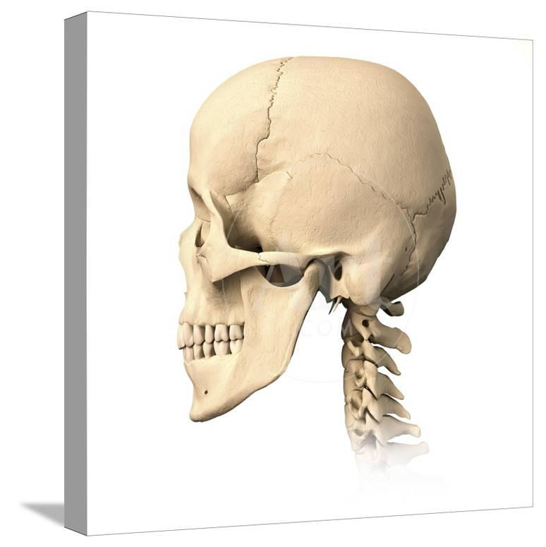 Anatomy Of Human Skull Side View Posters At Allposters
