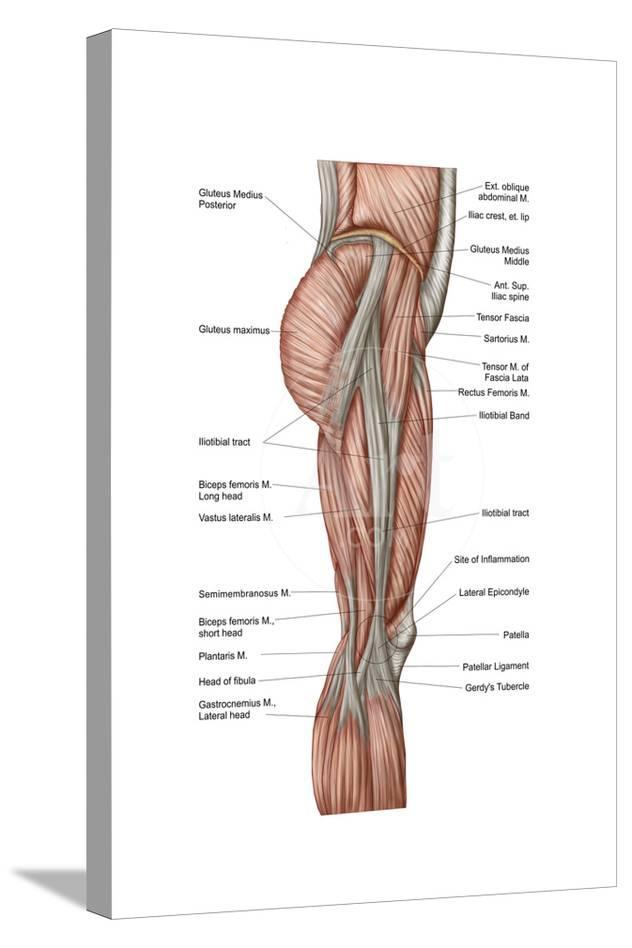 Anatomy Of Human Thigh Muscles Anterior View Prints At Allposters