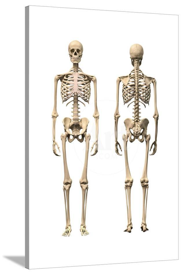 Anatomy Of Male Human Skeleton Front View And Back View Prints At
