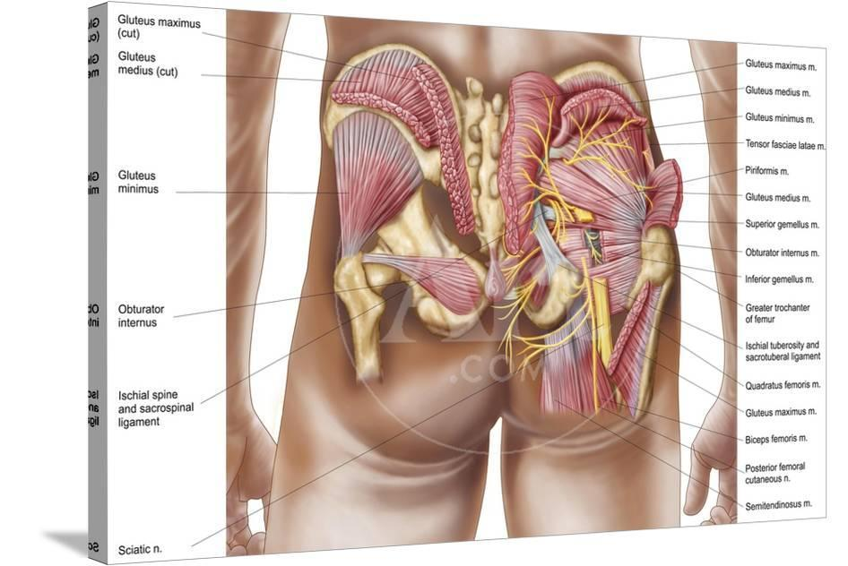 anatomy of the gluteal muscles in the human buttocks prints at