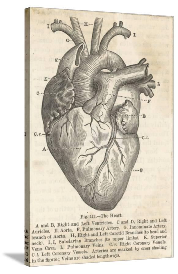 Anatomy Of The Heart Giclee Print At Allposters