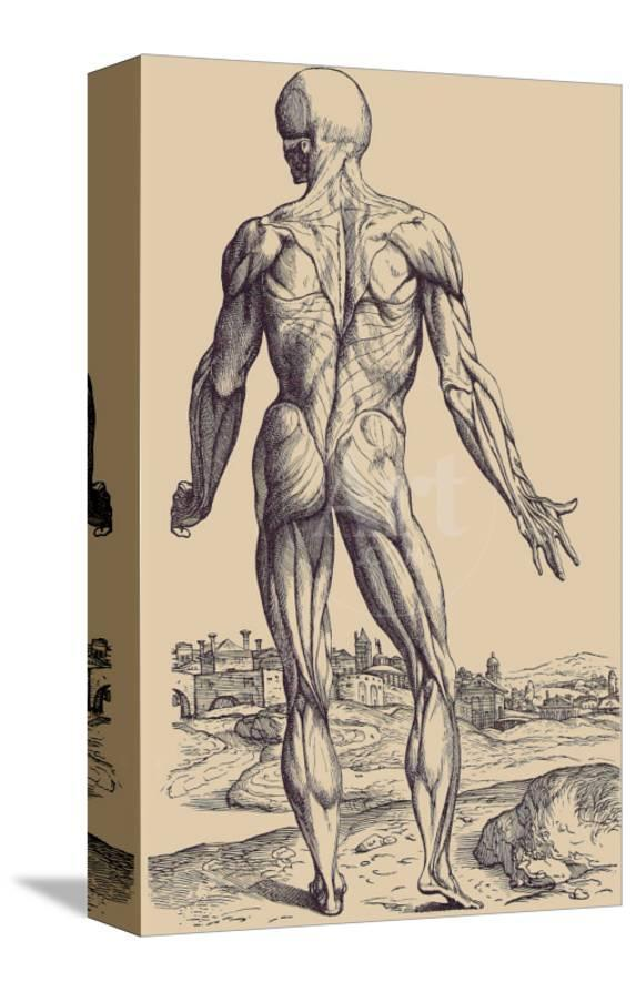 The Ninth Plate Of The Muscles Posters By Andreas Vesalius At
