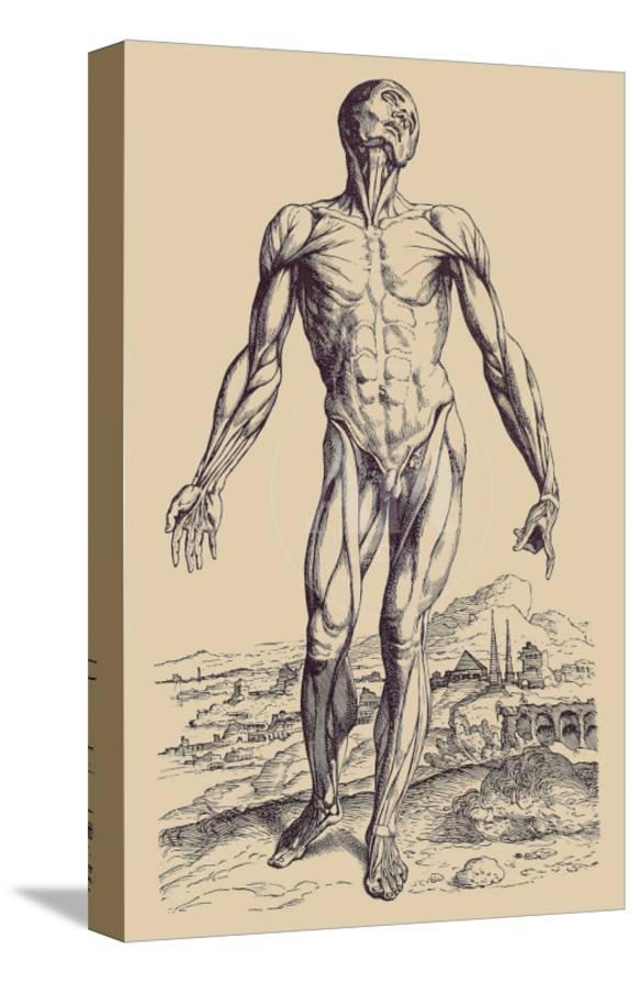 The Second Plate Of The Muscles Posters By Andreas Vesalius At