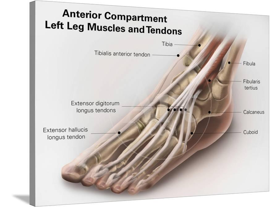 Anterior Compartment Anatomy Of Left Leg Muscles And Tendons Art At