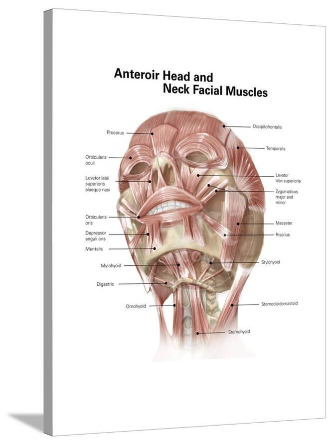 Anterior Neck And Facial Muscles Of The Human Head With Labels