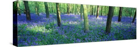Bluebells in a Forest, Charfield, Gloucestershire, England Pingotettu canvasvedos