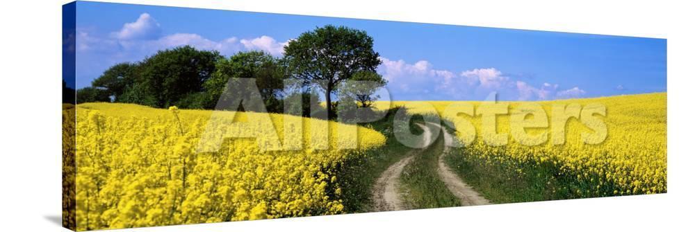 Canola farm yellow flowers germany photographic print at canola farm yellow flowers germany photographic print at allposters mightylinksfo