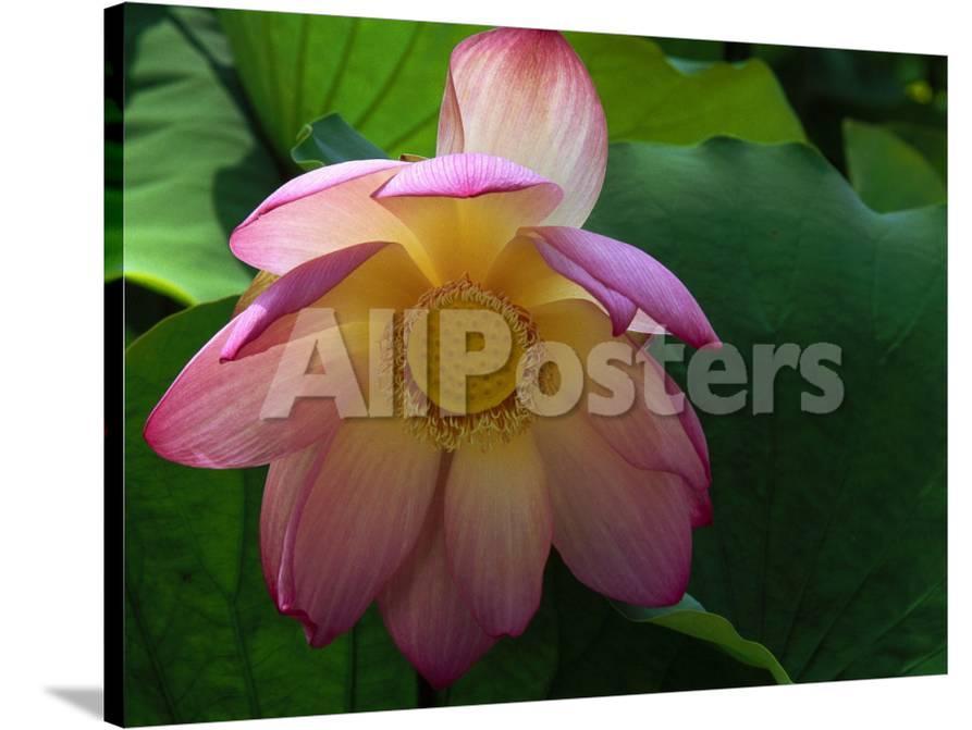 Lotus Flower Echo Park Lake Los Angeles Ca Photographic Print By