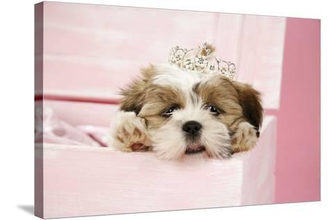 Dog Shih Tzu 10 Week Old Puppy Wearing Tiara Photographic Print At