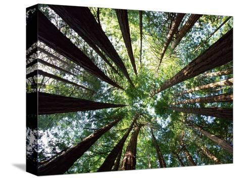 Redwood Grove Stretched Canvas Print