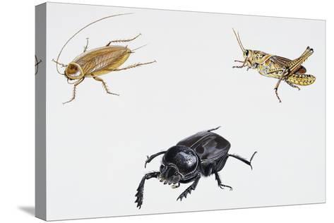 Dusky Cockroach (Ectobius Lapponicus)