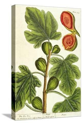 The Fig Tree, Plate 125 from 'A Curious Herbal', published 1782 Reproducción de lámina sobre lienzo