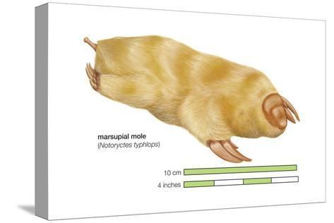 Marsupial Mole (Notoryctes Typhlops), Mammals