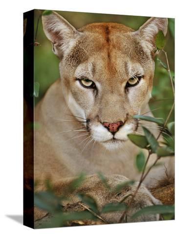 cougar belize reproducci n de l mina sobre lienzo por frans lanting en. Black Bedroom Furniture Sets. Home Design Ideas