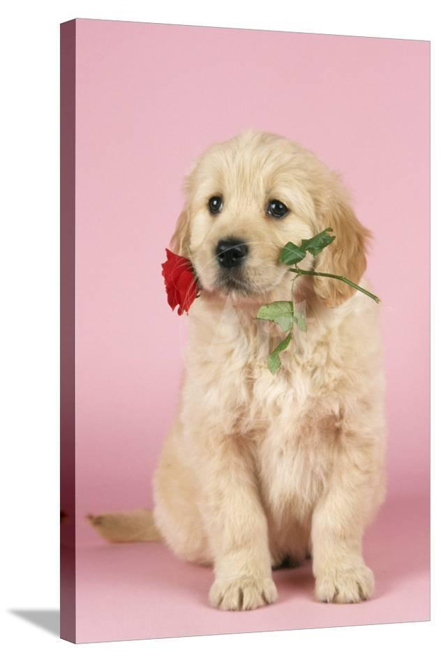 Golden Retriever Dog Puppy With Rose Photographic Print At