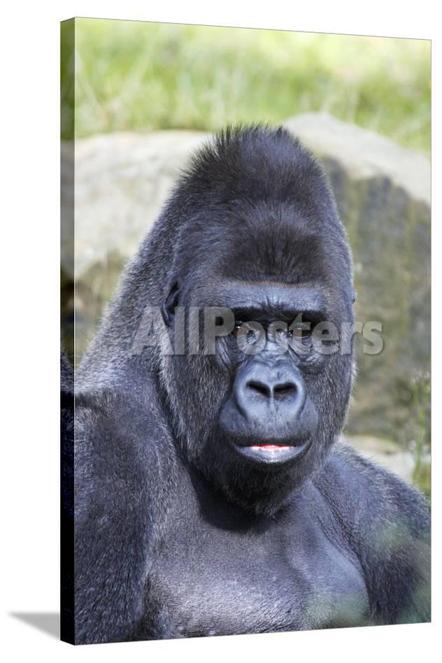 f9db053e5bf15 Gorilla Male