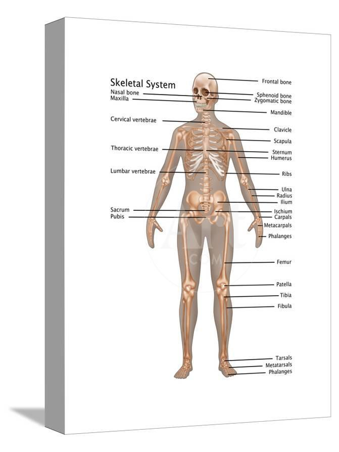 Skeletal System In Female Anatomy Posters By Gwen Shockey At