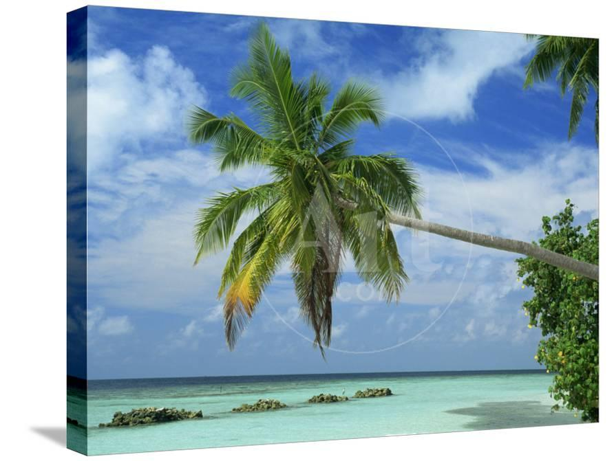 Palm Tree On The Tropical Island Of Nakatchafushi In The Maldive