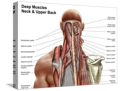 human anatomy showing deep muscles in the neck and upper back poster at  allposters com