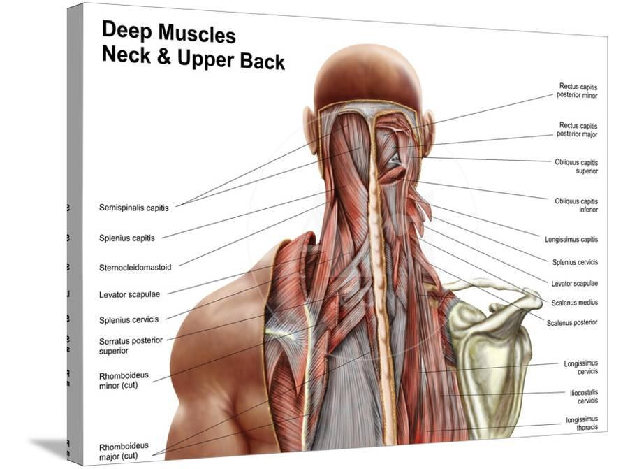 Human Anatomy Showing Deep Muscles In The Neck And Upper Back Poster