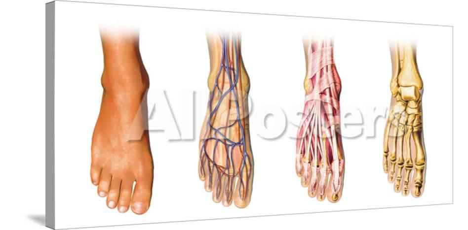 Human Foot Anatomy Showing Skin Veins Arteries Muscles And Bones