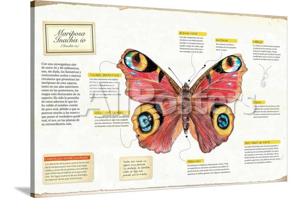 Infografía De La Anatomía De La Mariposa Inachis Io Prints at ...