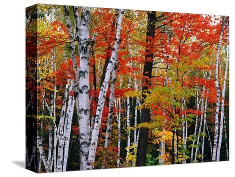 Birch and Maple Trees in Autumn Pingotettu canvasvedos